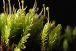 Bud-headed Groove-moss (Aulacomnium androgynum)